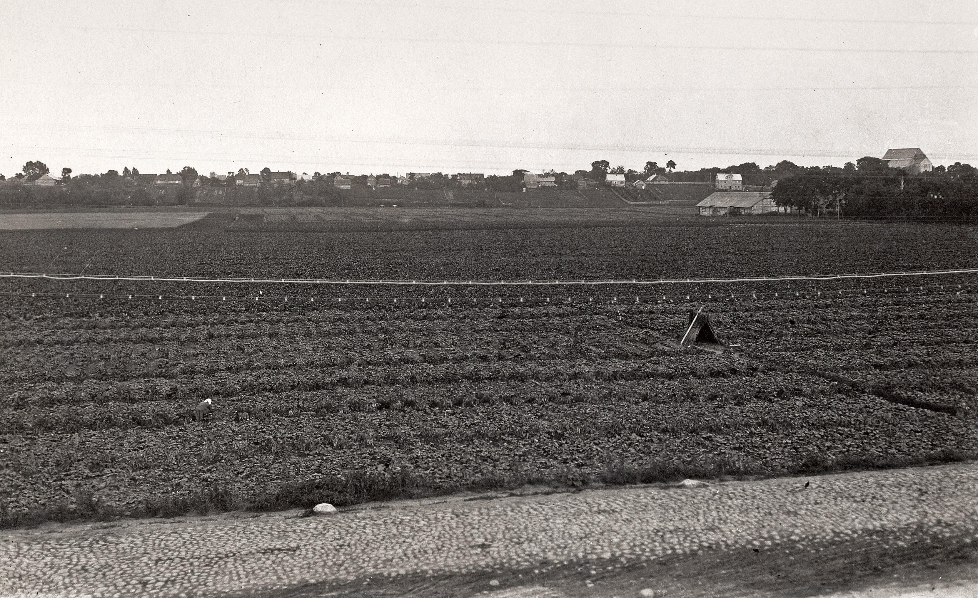 Agurkų laukai buvusio Juozapavos palivarko laukuose (dabar P.Lukšio ir J. Žemaitės gatvių rajonas), XX a. 4 deš.