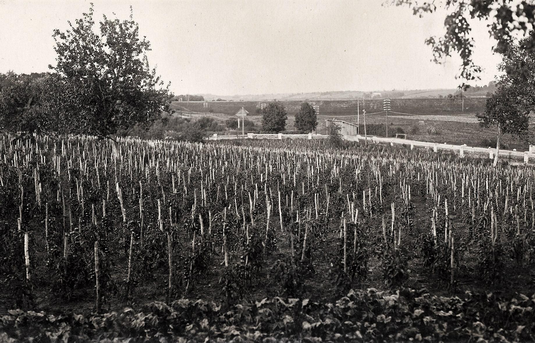 Pomidorų laukas šalia Stoties (dabar J. Basanavičiaus) gatvės, XX a. 4 deš.